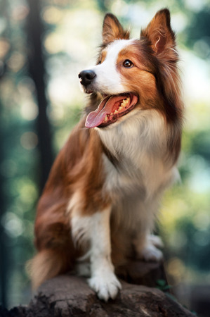 Red dog border collie sitting in sunlight