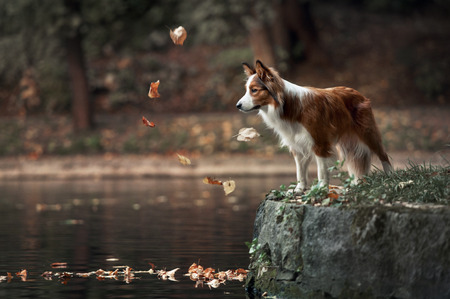 summer dog: border collie dog standing on the edge of the pond