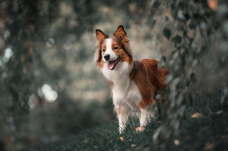 sniff dog: Proud red border collie dog in a dark forest