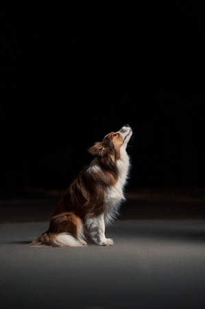happy dog border collie sitting in profile on black background