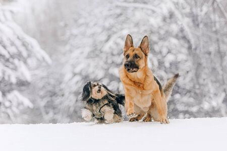 Two dogs running in the winter forest