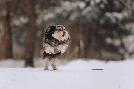 Mixbreed little dog jumping in the winter forest Stock Photo