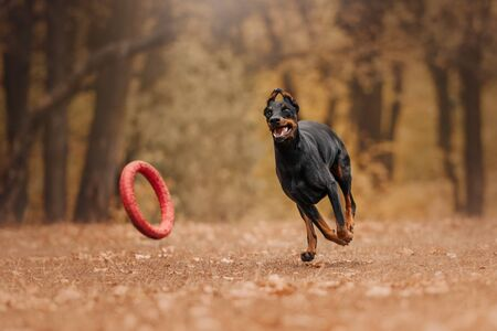 Doberman dog in autumn in the forest