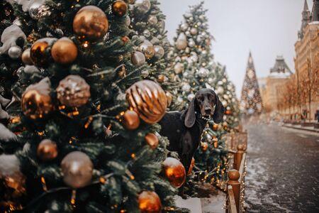Black dog sitting in Christmas decoration