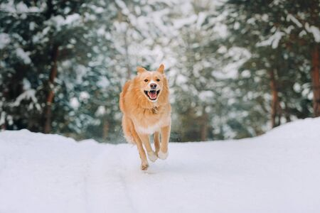 Happy yellow dog flies over the snow on the background of the forest