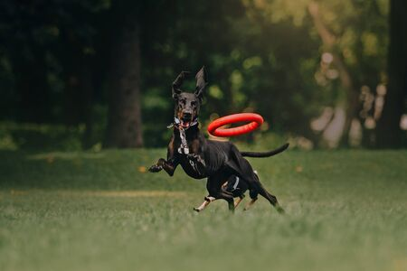 Happy hound dog playing in the park with toys