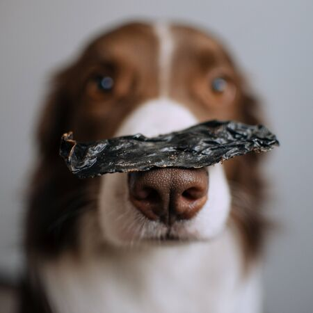 Border Collie holds a piece of refreshment on his nose Stockfoto