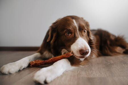 Border collie is lying on the floor holding a treat in his paws Фото со стока