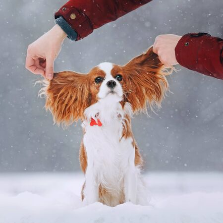 Cute cavalier king charles spaniel sits in the snow 免版税图像