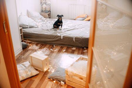Litle black dog sitting on the bed in a mess Reklamní fotografie