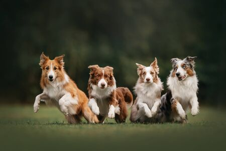 Four border collie dogs begin to run Foto de archivo - 130265778