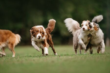 Four border collie dogs begin to run Foto de archivo - 130265793