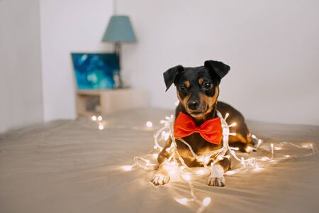 Little dog with a bowtie is in a yellow garland