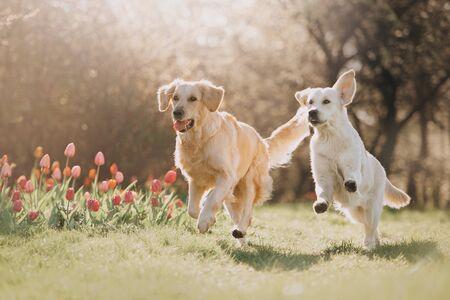 Dos perros Golden retriever corriendo uno tras otro en primavera