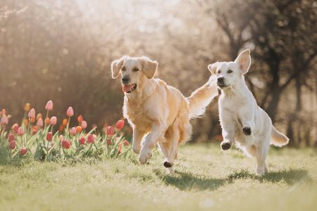 Two Golden retriever dogs running after each other in spring Stock fotó - 131664385