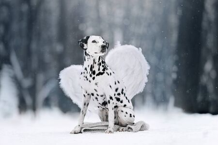 Dalmatian dog is sitting on his back legs on the snow in the winter forest