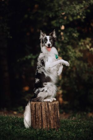 Blue-merle Border collie doing a trick on a stump