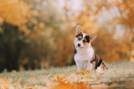 Funny Tricolor Pembroke Welsh Corgi is in the fall leaves
