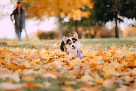 Tricolor Pembroke Welsh Corgi playing in the fall leaves Stock fotó