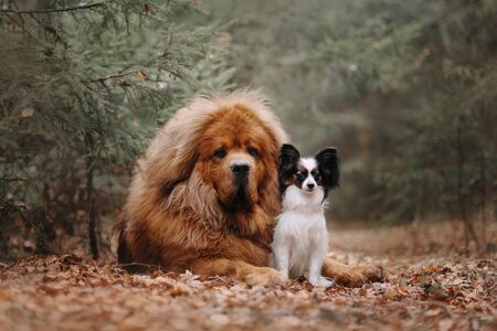 Two dogs on a walk in the foliage in the autumn forest Stock fotó - 135478678