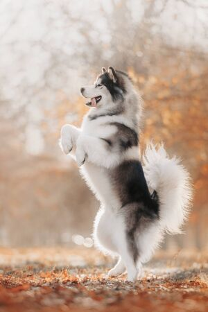 Malamute dog stands on its hind legs on autumn background Stock fotó - 135478679