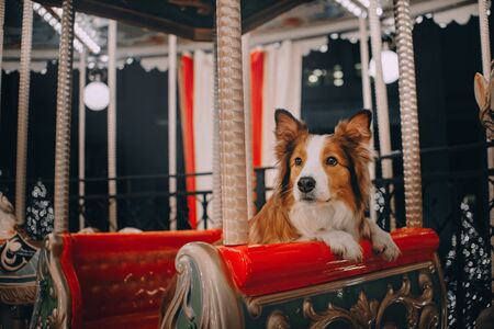 Red Border collie dog sitting in red Christmas carousel