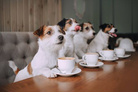Four jack russell terriers sitting in front of cups in cafe