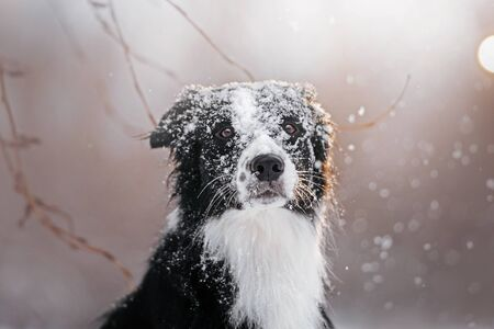 Snow falls on a black and white border collie and he pressed his ears