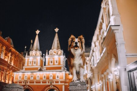 Red Border collie dog stands on the background of landmarks