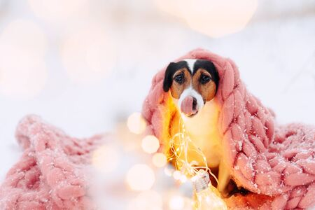Jack russell terrier dog is wrapped in a pink scarf