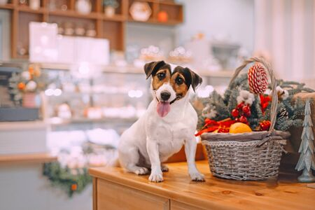 Jack russell terrier sitting next to wicker basket with christmas toys Stock fotó - 135478745