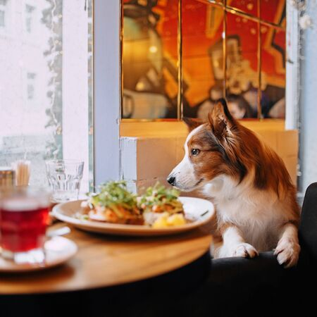 border collie dog in a dog friendly diner