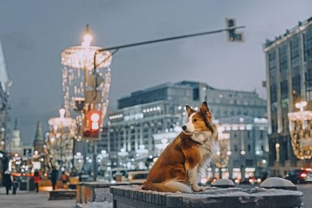 Border collie dog sitting on a bench outside in winter Stock fotó - 135478752