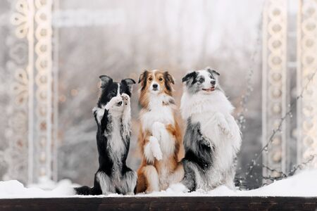 Three border collies perform a trick sitting on their hind legs
