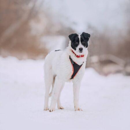mixed breed dog walking outdoors in winter Reklamní fotografie