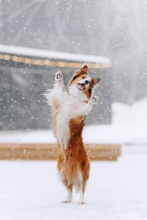 border collie dog standing on hind legs in the snow Stock Photo