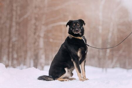 large black mixed breed dog sitting in the snow