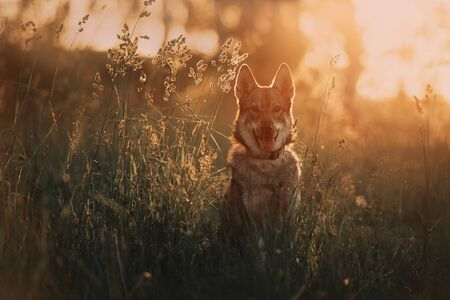 young wolfdog portrait on a field in summer at sunset