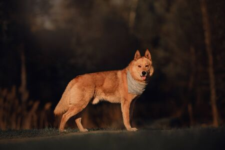 red mixed breed dog in a bandana standing in the evening light outdoors