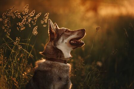 young grey mixed breed dog portrait in summer sunset