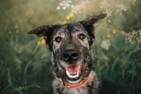 happy old grey mixed breed dog portrait outdoors in summer 스톡 콘텐츠
