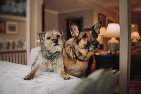 two dogs posing together in the living room 스톡 콘텐츠