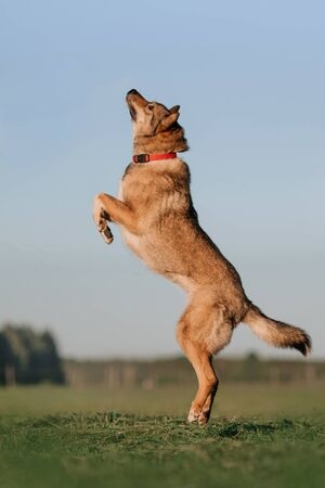 grey mixed breed dog jumping up on a field in summer