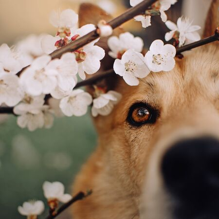 close up portrait of dog eye with blooming tree flowers