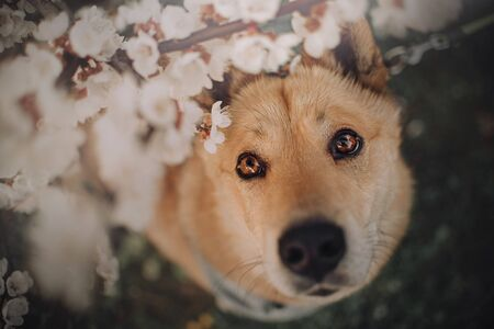 red mixed breed dog portrait under a blooming tree 스톡 콘텐츠