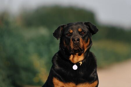 black and tan mixed breed dog portrait outdoors in summer