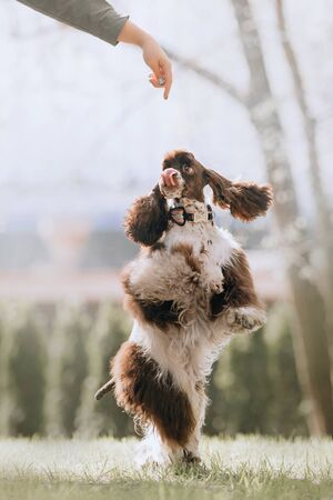 happy cocker spaniel dog spinning around on hind legs outdoors Stock Photo