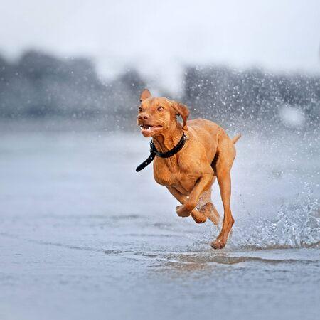 funny vizsla dog running on water on the beach Stock Photo