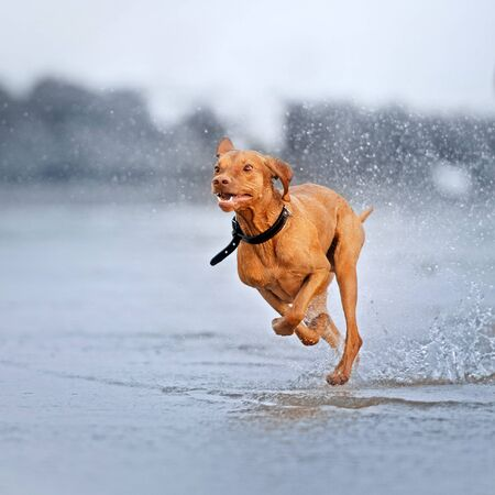Gracioso perro vizsla corriendo sobre el agua en la playa Foto de archivo