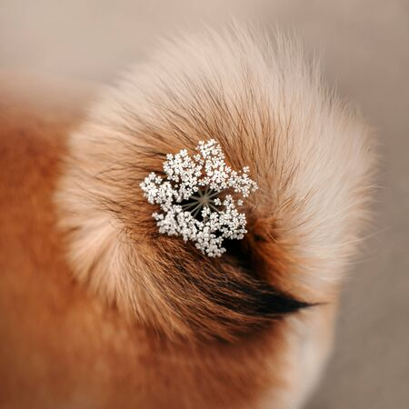 close up of a curled shiba inu tail with a flower in the middle Archivio Fotografico